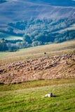Sheepdog guarding a flock of sheep Royalty Free Stock Image