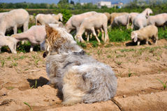 Sheepdog guarding the herd Stock Image