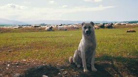 Dog Shepherd Grazing Sheep in the Field stock footage