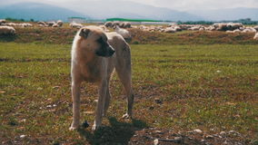 Dog Shepherd Grazing Sheep in the Field. Slow Motion stock video footage