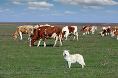 Sheepdog with herd of cow Stock Photos