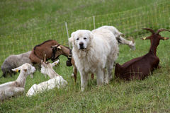 Sheepdog and herd of goats. Alps, France Royalty Free Stock Photos
