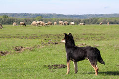 Sheepdog with herd of sheep Royalty Free Stock Images