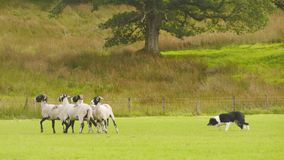 Sheepdog herding Sheep. Sheepdog herding swaledale sheep at the Patterdale Dog Show 2017, Patterdale, Cumbria, England stock photo
