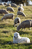 Sheepdog and his herd. A sheepdog watching over his herd of sheep Stock Photography