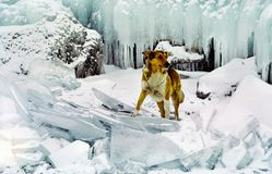 Sheepdog among ice and snow royalty free stock photography