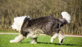 Sheepdog inglês velho imagem de stock royalty free