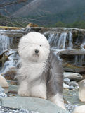 Sheepdog inglês velho do cão Foto de Stock