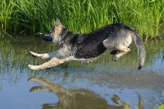 Free Sheepdog Jumps Into The Water Royalty Free Stock Photography - 122488937
