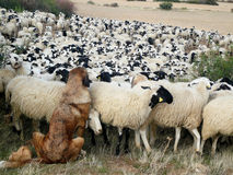Sheepdog Stock Photos