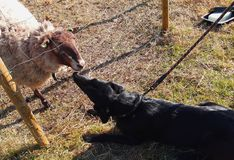 A sheepdog kissing a sheep. A sheepdog loves his new friend Stock Photos