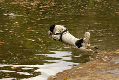 Sheepdog leaping. Into an large pond Royalty Free Stock Photos