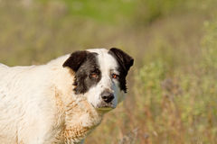 Sheepdog Looking Stock Image