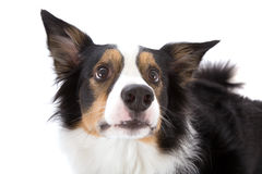 Sheepdog looking up Stock Photos