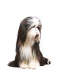 Sheepdog na frente de um branco foto de stock royalty free