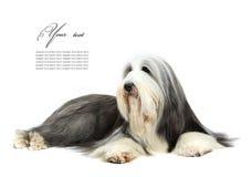 Sheepdog na frente de um branco fotografia de stock