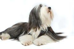 Sheepdog na frente de um branco Imagens de Stock