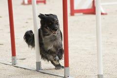 Sheepdog pirenaico na agilidade fotografia de stock royalty free
