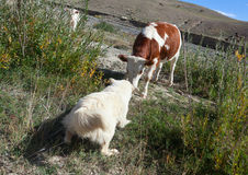 Sheepdog puppies Stock Image