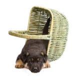 Sheepdog puppy Stock Image