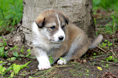 Sheepdog Puppy Stock Photo