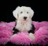 Sheepdog Puppy royalty free stock photos