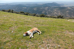 Sheepdog Royalty Free Stock Image