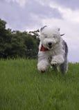 Sheepdog running in field Royalty Free Stock Photo