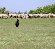 Sheepdog running on field Stock Images