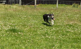 Sheepdog running on the grass Royalty Free Stock Images