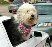 Sheepdog's Anticipation. A patriotic sheepdog waits patiently for daddy and mommy in a parking lot Stock Photo