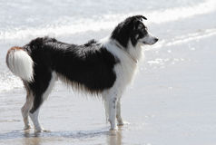 Sheepdog In The Sea. A border collie sheepdog stands to attention, at the edge of the sea, on a sparklingly sunny day Royalty Free Stock Images