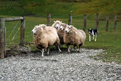 Sheepdog with sheep royalty free stock photos