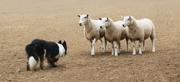 Sheepdog and the Sheep. A sheepdog working a few sheep in a dirt field Royalty Free Stock Photo