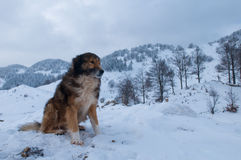 Sheepdog, Shepherd Dog in Winter Royalty Free Stock Photos