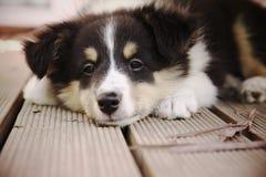 sheepdog shetland Royaltyfri Foto