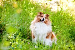 sheepdog shetland Arkivbilder