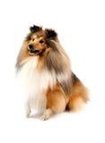 sheepdog shetland Стоковое Фото