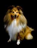 sheepdog shetland Arkivbild