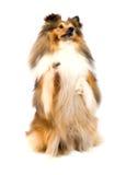 sheepdog shetland Fotografering för Bildbyråer