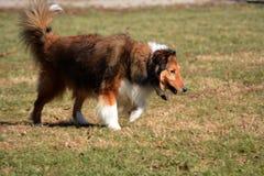 Sheepdog Shetland стоковые фото