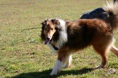 Sheepdog Shetland стоковое фото rf