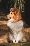 Sheepdog Shetland стоковые изображения