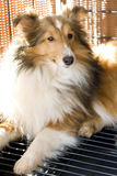 sheepdog shetland royaltyfria bilder