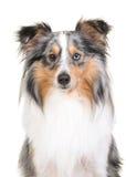 sheepdog shetland för 2 closeup Arkivfoton