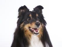 sheepdog shetland för 2 closeup Royaltyfri Bild