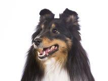 sheepdog shetland för 2 closeup Arkivbilder