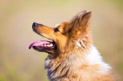 sheepdog shetland för 2 closeup Royaltyfria Foton
