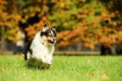 sheepdog shetland för hund en royaltyfri fotografi