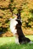 sheepdog shetland för hund en arkivbild